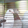 Pigeons in a cage - Stock Photo