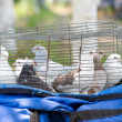 Several pigeons in cage — Stock Photo