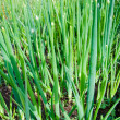 Spring onion - Stock Photo