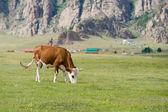 Grazing cow — 图库照片