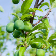 Green plums on tree — Stock Photo #2113279