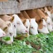 Calves eating green rich fodder - Stock Photo