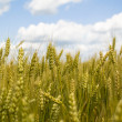 Wheat field — Stock Photo #1386778