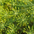 Stock Photo: Dill inflorescence