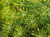 Dill inflorescence — Stock Photo