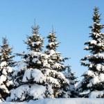 Winter fir-trees — Stock Photo