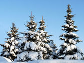 Winter fir-trees — Stock Photo
