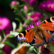 Butterfly with eyes on winds — Stock Photo