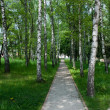 Path between birches — Stock Photo #1464823
