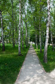 Path between birches — Stock Photo
