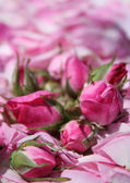Rose petals and rosebud — Stock Photo