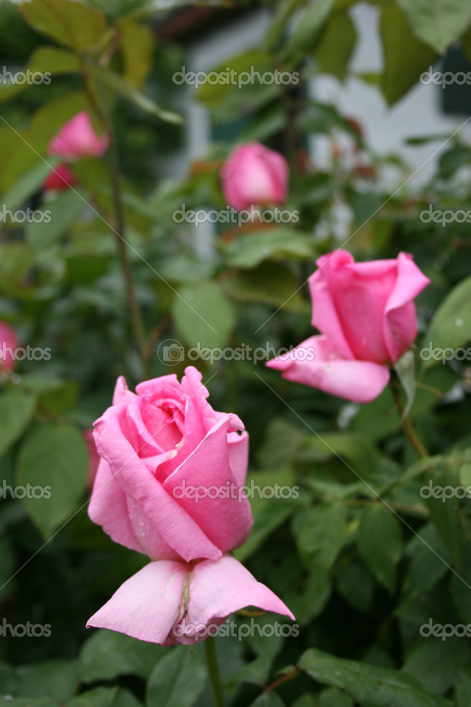 summer aroma, garden, rose — Stock Photo #1518394