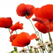 Poppy in spring with white background - Stock Photo