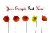 Poppy with white background — Stock Photo