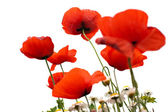 Poppy in spring with white background — Stock Photo