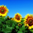 Sunflower agriculture, background, beaut — Stock Photo #1759700