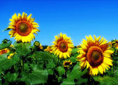 Sunflower agriculture, background, beaut — Stock Photo