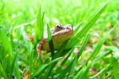 Frog peeking out from behind the leaves — Stock Photo