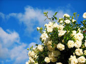 Rose flowers on background blue sky — Stock Photo