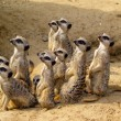 Suricate — Stock Photo #1390256