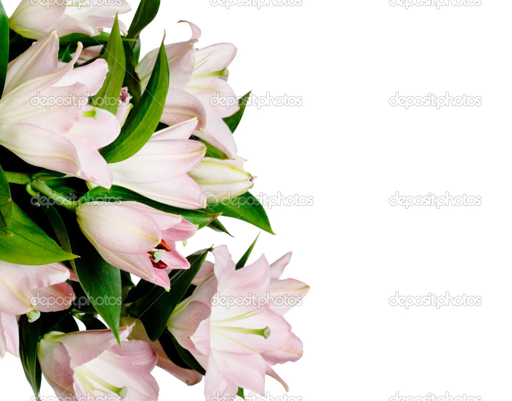 Pink lily on white background  — Stock Photo #1404577