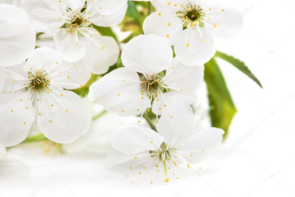 Spring flowers of sakura on white background   Stock Photo #1404585