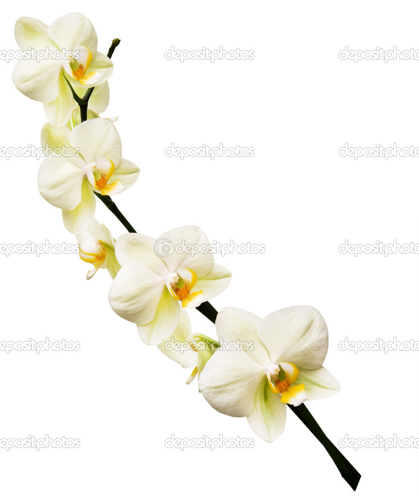 Orchid isolated on white background  — Stock Photo #1411646