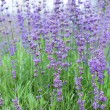 Foto Stock: Field with many flowers of lavender