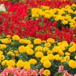 Red and orange flowers on field - Stock Photo