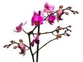 Orchid isoliert auf weißem hintergrund — Stockfoto