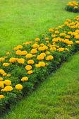 Orange flowers on green field — 图库照片
