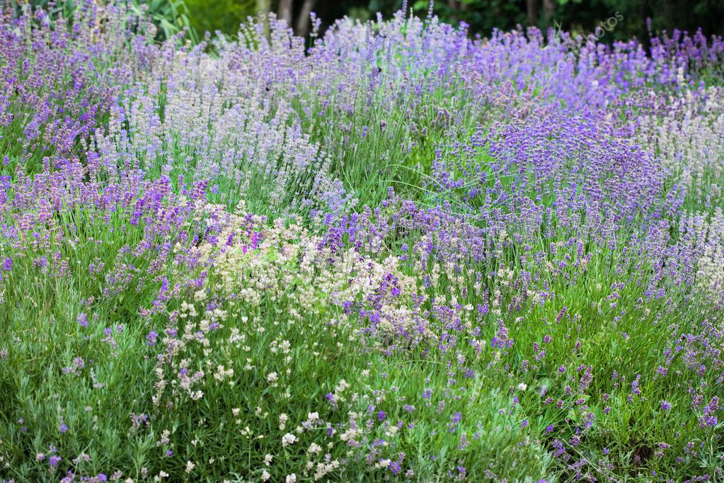 Field with many flowers of lavender — Stok fotoğraf #1423801