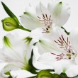 White flowers with green buds — Stock Photo