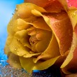 Yellow rose with water drops — Stock Photo