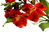 Red flowers isolated — Stock Photo