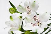 Flores blancas con brotes verdes — Foto de Stock