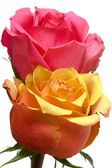 Pink and yellow roses isolated — Stock Photo