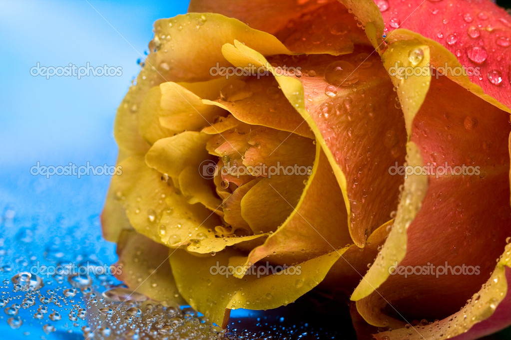 yellow roses with water drops - photo #21