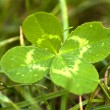 four leaf clover — Stock Photo