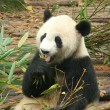 Giant panda, Chengdu, China - Stock Photo