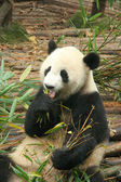 Giant panda, Chengdu, China — Stock Photo