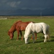 Two small horses, Iceland — Stock Photo