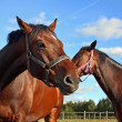 Two horses in enclosure — Stock Photo #1427980