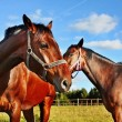 Two horses in enclosure - Stock Photo