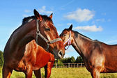 Two horses in enclosure — Stock Photo