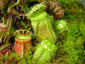 Pitcher Plants — Stock Photo