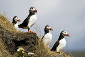 Puffins — Stock Photo