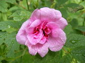 Raindrops on rose — Stock Photo