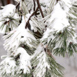 Covered in snow branch — Stock Photo