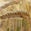 Barley — Stock Photo #1459835
